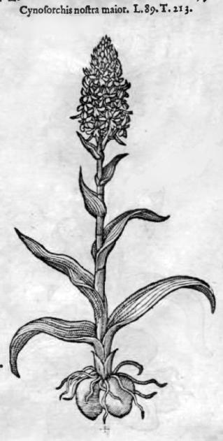 22-testiculines! Icones stirpium, seu, Plantarum etc-1